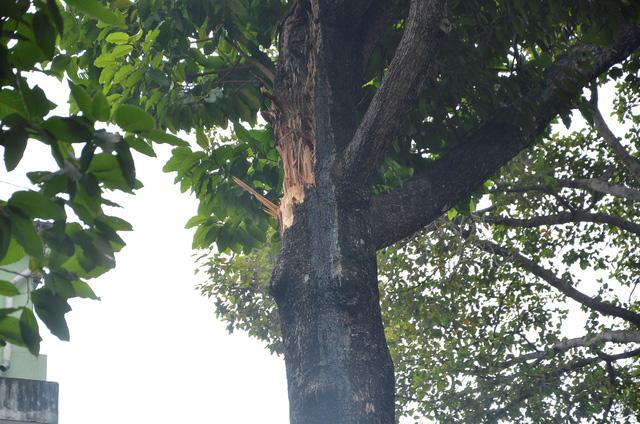 Phần nhánh cây cổ thụ bị gãy. Đầu nhánh có dấu hiệu bị mục.