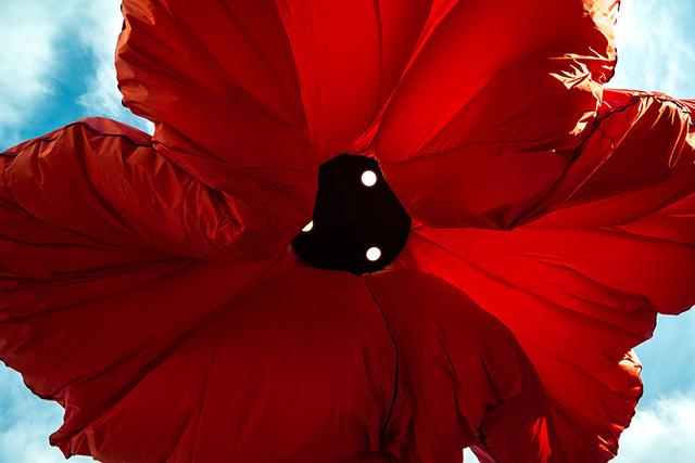 Đường kính nở tối đa của cánh hoa lên tới 9m
