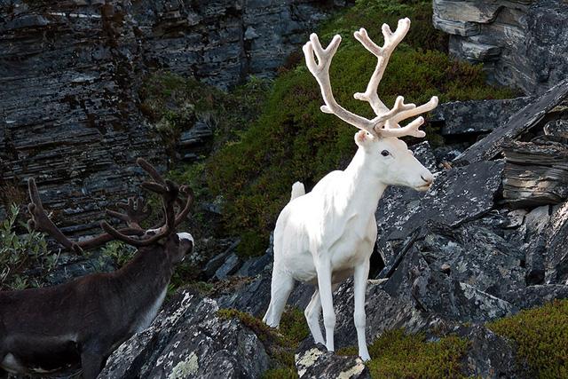 Chú tuần lộc trắng đẹp như trong truyện thần thoại.