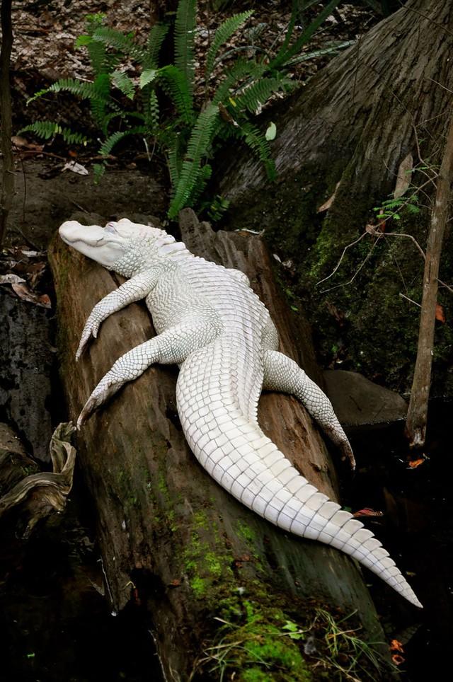 Cá sấu trắng ở vùng đầm lầy.
