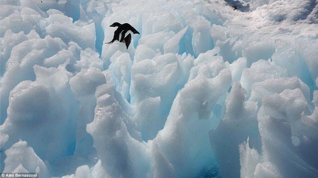 Chim cánh cụt Adélie trên tảng băng ở Antarctic Sound. Đây là loài chim cánh cụt phổ biến dọc theo toàn bộ bờ biển Nam Cực. Khu vực này được phát hiện vào năm 1902.