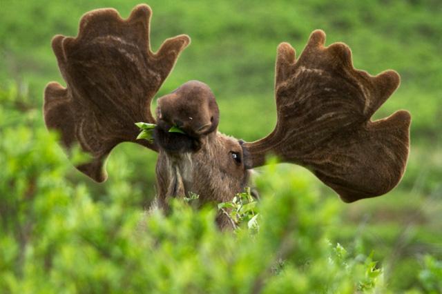 Nai sừng tấm vừa thưởng thức bữa ăn vừa trông chừng nguy hiểm ở rừng quốc gia Denali, Alaska. Ảnh: Jacob W Frank