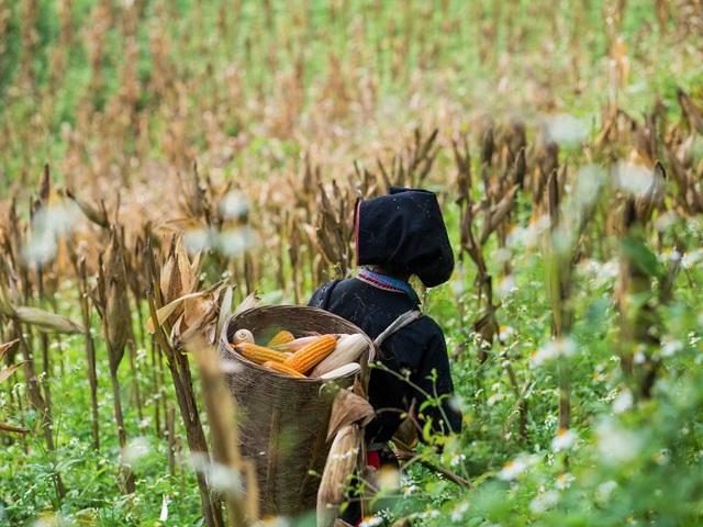 Một cô gái người Dao đỏ đi thu hoạch ngô.