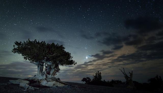 Cây thông bristlecone nằm ở công viên quốc gia Great Basin, một trong những nơi ngắm sao đẹp nhất nước Mỹ