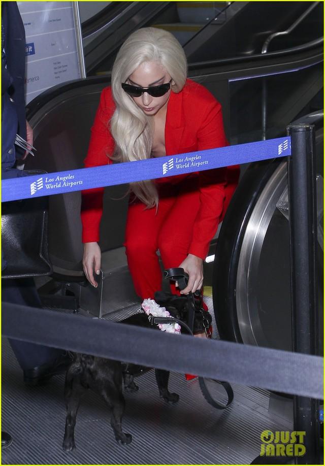 Chú cún cưng gốc châu Á này đã trở thành người bạn đồng hành đáng tin cậy của Lady Gaga bởi đi đâu cô cũng bế theo.