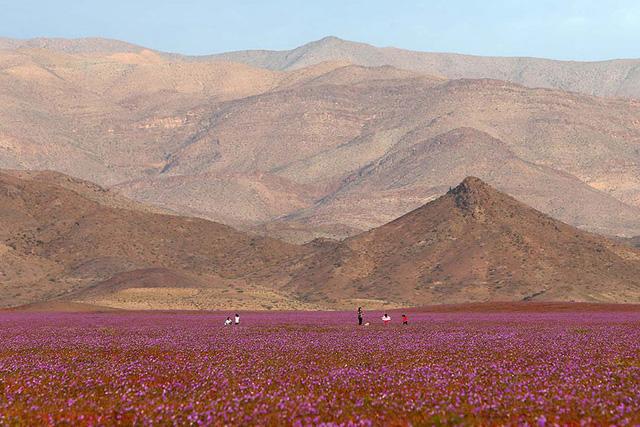 Những cánh đồng hoa trải dài trên bề mặt sa mạc Atacama
