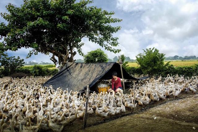 Nuôi vịt đồng và thu hoạch trứng, Việt Nam - tác phẩm đoạt giải Khuyến khích - Ảnh: Tran Van Tuy