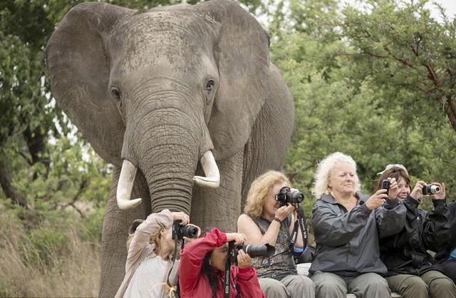 Quá đam mê chụp ảnh tại Trung tâm bảo tồn tê giác và động vật hoang dã tại Zimbabwe nên những vị khách này đã không nhận ra con voi khổng lồ ngay phía sau lưng họ. Ảnh: Marcus Söderlund/Barcroft Media