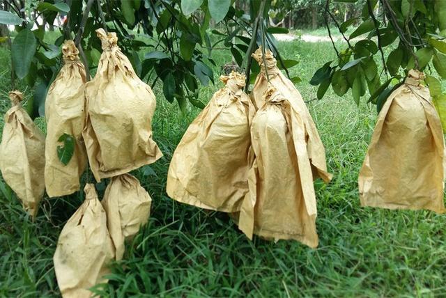 Để tránh ánh nắng chiếu vào làm rám vỏ bưởi, ít nước, nhiều gia đình dùng bao bì bọc lại. Muốn nhân giống, cứ vào giữa mùa các chủ vườn bắt đầu chiết cành. Thủ thuật chiết rất đơn giản, chỉ cần lấy dao khoét nhỏ một miếng ở đoạn cần chiết, sau đó buộc túi nylon lại, vài tháng sau cành sẽ tự ra rễ, tiếp đến cưa xuống và đem đi trồng. ( Ảnh VnExpress ).