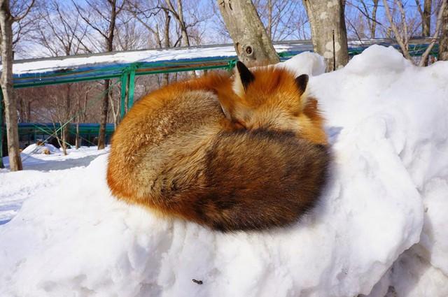 Cục bông trên tuyết.
