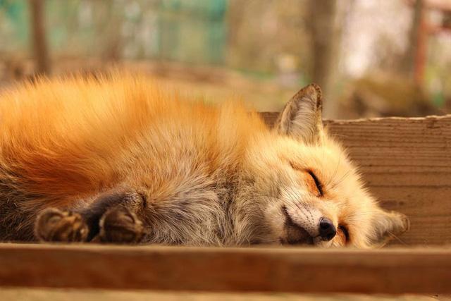 Không chỉ ngủ trên mặt đất, cáo còn ngủ rải rác trên những mảnh gỗ ngôi nhà.