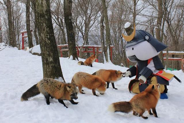 Khác với nhiều câu chuyện về sự ranh mãnh của loài cáo, những chú cáo ở đây lại rất thân thiện.