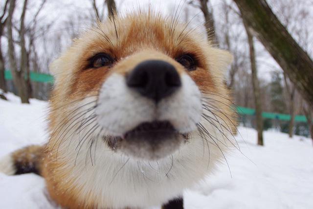 Một chú cáo tò mò trước ống kính máy ảnh.