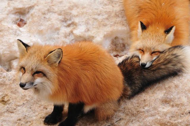 Loài động vật này cũng rất gắn bó với nhau.