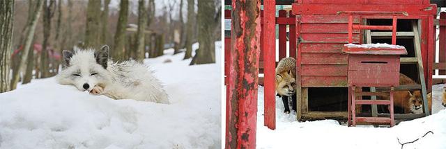 Một chú cáo tuyết nổi bật giữa trời giá rét.