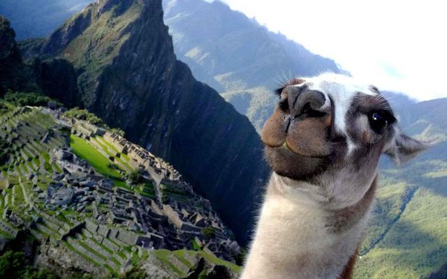 Junichi Masuda, 34 tuổi, đang chụp ảnh tại Machu Pichu thì một chú lạc đà không bướu đang nằm gặm cỏ đột nhiên đứng dậy và tạo dáng trước bức ảnh. Ảnh: Junichi Masuda