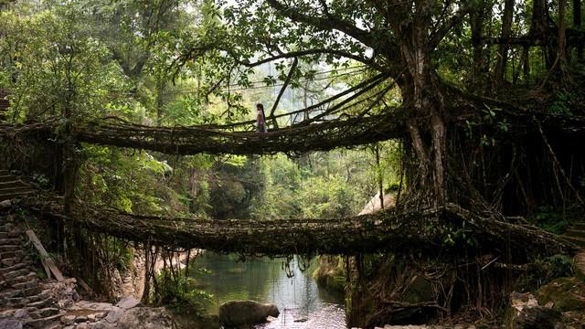 Cây cầu ở làng Cherrapunji, Ấn Độ.