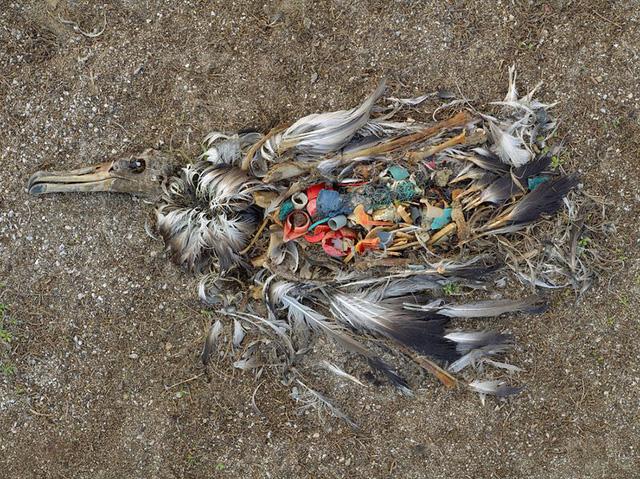 Xác một con chim đang phân hủy tại quần đảo Midway nằm ở Bắc Thái Bình Dương. Con chim này bị chết do ăn phải quá nhiều đồ nhựa.