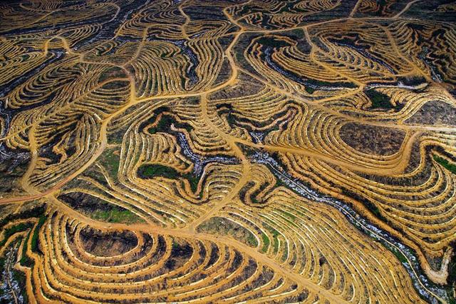 Quang cảnh rừng ở Indonesia bị con người khai thác và lấn át, biến thành nơi trồng cọ.