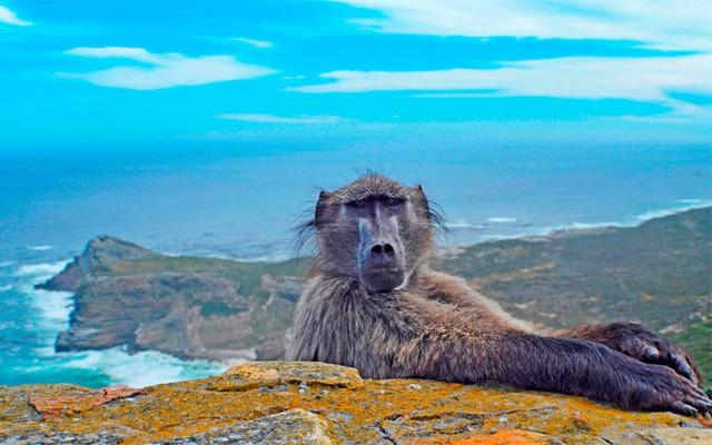 Chú khỉ đầu chó bất ngờ xuất hiện khi nhiếp ảnh gia Punam Dave đang chụp ảnh bờ biển tại Cape Point. Ảnh: Punam Dave