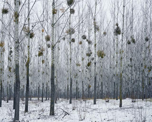 Rừng cây Tầm gửi (gần Oradea, Tây Romania), 2014