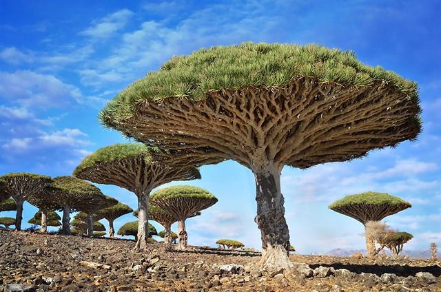 Bãi đá có cây Huyết Rồng ở Socotra, Yemen