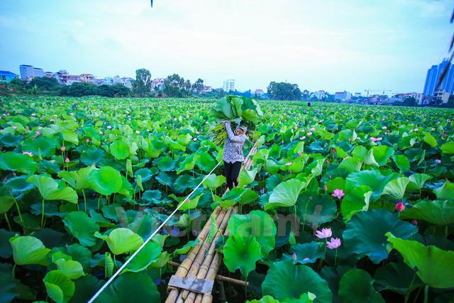 Bắt đầu ngày mới, khi tia nắng hè còn chưa kịp le lói, những người trồng sen đã phải tất tả dậy rất sớm để kịp thu hoạch. (Ảnh: Minh Sơn/Vietnam+)