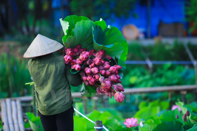 Sen phải được hái từ 3 - 4 giờ sáng, khi sương vẫn còn đọng trên đài là lúc hoa tươi nhất, rực rỡ nhất. (Ảnh: Minh Sơn/Vietnam+)