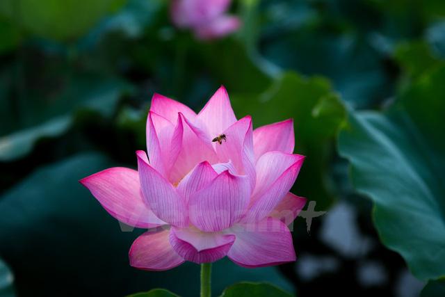 Mùi thơm ngào ngạt hòa với sắc hồng dịu dàng của hoa, sắc xanh ngọc của lá, gọi mời những con đàn ong đến tìm mật. (Ảnh: Minh Sơn/Vietnam+)