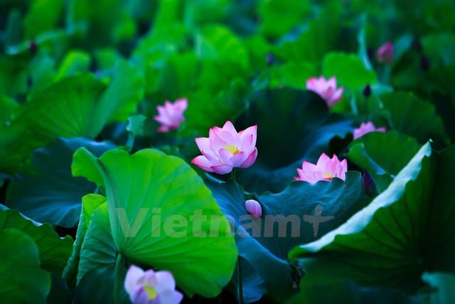 Lá sen xanh ngọc, cánh hoa hồng, lẫn trong cái vàng ươm của nhị tạo thành một bức tranh thiên nhiên tuyệt diệu. (Ảnh: Minh Sơn/Vietnam+)