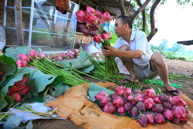 Ông Đạt, chủ đầm sen Xuân Đỉnh, cho biết dù mới đầu vụ mỗi ngày ông phải thu hoạch đến hơn 1 ngàn bông sen vẫn không đủ đáp ứng nhu cầu của khách. (Ảnh: Minh Sơn/Vietnam+)