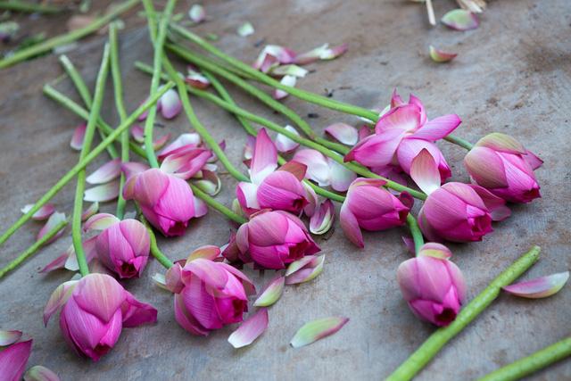 Những cành sen đầu mùa nở bung, buông hương thơm ngào ngạt. (Ảnh: Minh Sơn/Vietnam+)