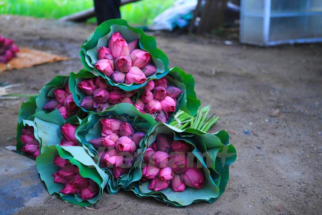 Sen được bó từng chục một, hoa già kết hợp hoa non rất tinh tế để khách hàng lựa chọn. (Ảnh: Minh Sơn/Vietnam+)
