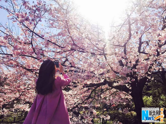 Cô say sưa ghi lại những hình ảnh đẹp của loài hoa nổi tiếng