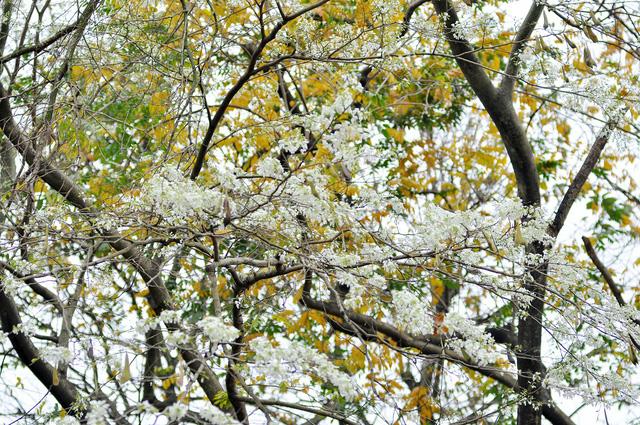 Hoa sưa rất nhanh nở và cũng rất chóng tàn. Có khi chỉ qua vài ngày, những tán lá xanh mướt đã được thay thế bởi một màu trắng muốt của hoa. Chính vì cái sự vội đến rồi lại vội đi ấy mà những người yêu hoa sưa cũng tranh thủ những ngày này để thưởng hoa và lưu lại những hình ảnh đáng nhớ.