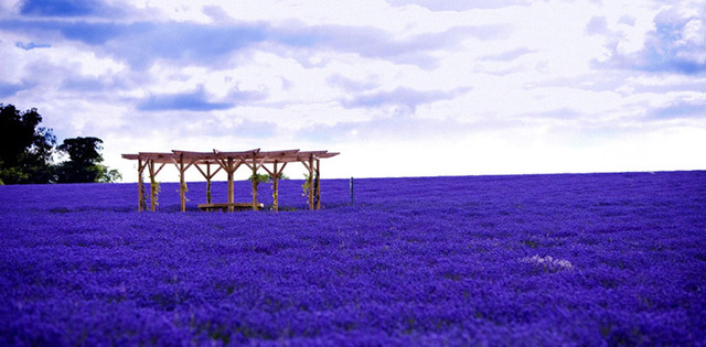 Trong những tháng mùa hè đầy nắng và gió, những cánh đồng hoa oải hương của vùng Provence, Pháp trải dài một màu tím biếc rộng khắp như một tấm thảm mịn tuyệt đẹp.