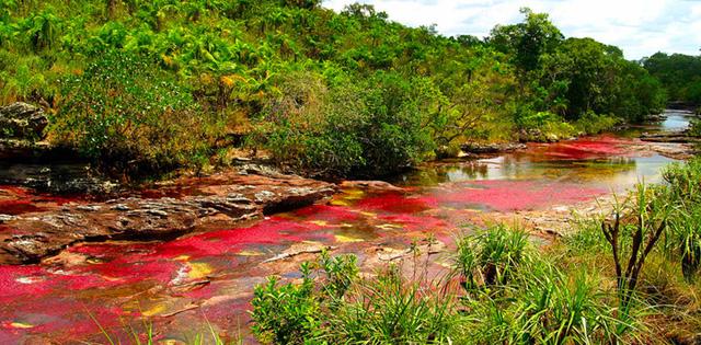 """Sông Cano Cristales, Colombia còn được gọi là """"sông Ngũ sắc"""" với sắc đỏ nổi bật mỗi độ Thu về. Sông là nơi sinh sống của nhiều loài động thực vật quý hiếm."""