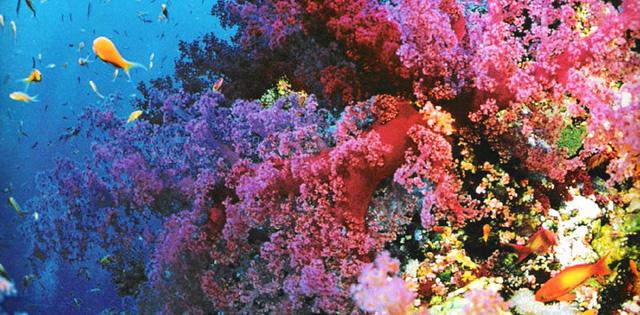 Dải san hô ấn tượng ở Úc có hơn 400 loài san hô sinh sống và 500 loài rong biển, 1.500 loài cá tạo nên một vùng biển đa sắc màu tươi tắn tuyệt đẹp.