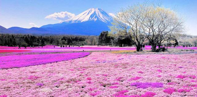 Mùa Xuân đến cũng là thời điểm đồi Shibazakura dưới chân núi Phú Sĩ, Nhật Bản trở thành một thảm hoa màu hồng.