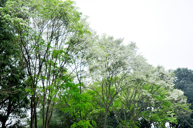 Không rực rỡ như hoa phượng, không thơm nồng nàn như hoa sữa nhưng vẻ đẹp mong manh, tinh tế của hoa sưa vẫn khiến nhiều người say mê.