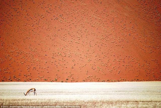 Hình ảnh tuyệt đẹp về chú hươu đang ăn cỏ một mình phía trước đụn cát ở Swakopmund, Erong trong sa mạc Namibia.