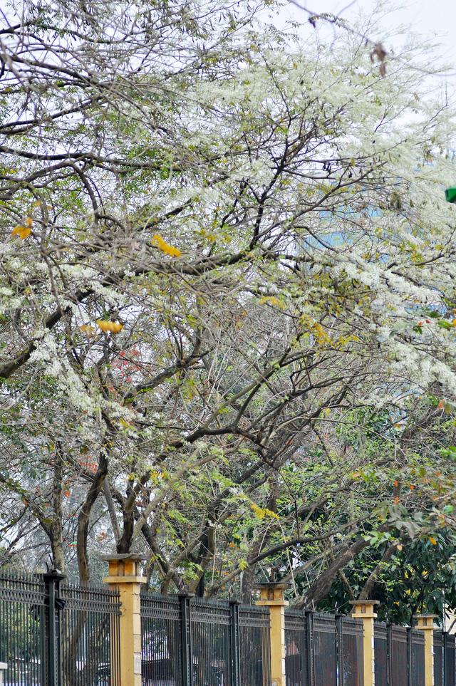 Những cánh hoa sưa trên đường phố đã tạo nên một nét đặc trưng riêng cho tháng Ba ở Hà Nội.