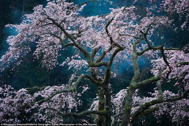 Khách du lịch đổ xô đến Minobu, Nhật Bản mỗi năm để ngắm hoa anh đào nở. Khói từ một đống lửa bốc lên tạo nên hiệu ứng tuyệt vời cho bức ảnh.
