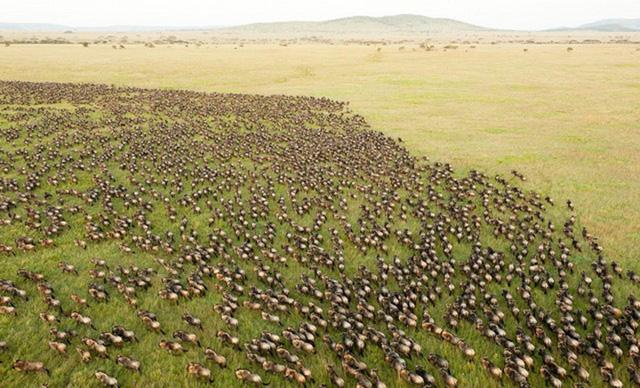 """Được mệnh danh là """"World Cup của đời sống hoang dã"""", sự di cư của hơn triệu con linh dương đầu bò, nửa triệu linh dương gazelle, và 200 nghìn chú ngựa vằn từ Công viên Quốc gia Serengeti, Tanzania tới Khu bảo tồn Quốc gia Maasai Mara, Kenya là một trong những cảnh tượng thiên nhiên đẹp nhất. Bắt đầu từ tháng Bảy đến tháng Mười, quá trình di cư rất rộng, với những loài động vật đã được đóng dấu sẵn, chúng nhảy vọt qua những dòng sông, kiếm mồi và sinh con. Thời điểm này không thể dự đoán trước được và nếu bạn muốn tận mắt thấy cuộc đi săn, bạn sẽ cần có chút may mắn."""