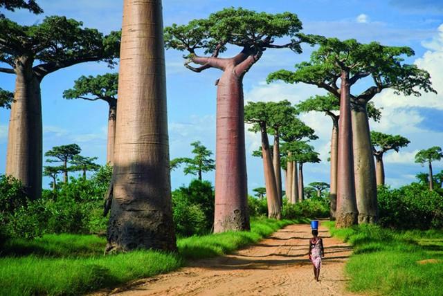 Rừng cây Baobabs (Madagascar) khiến du khách ngỡ như lạc vào một hành tinh khác chứ không phải trên Trái Đất này.