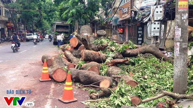 Những thớ gỗ sau khi được cắt gọt từ những cây xanh gãy đổ