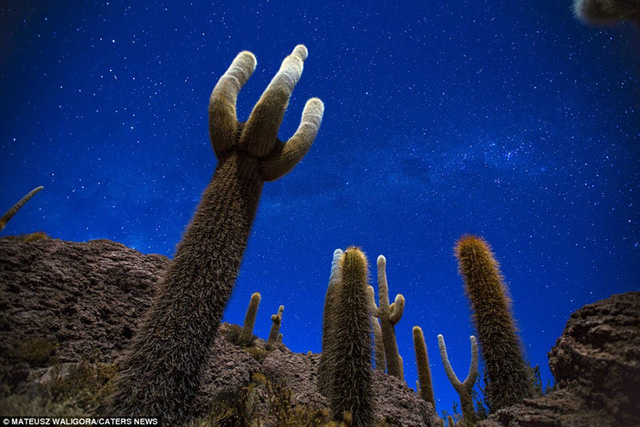 Những cây xương rồng dưới bầu trời đêm ở sa mạc muối Salar de Uyuni.