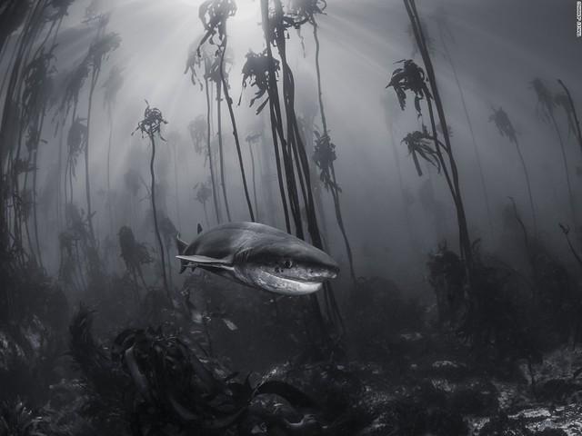 Con cá mập đang bơi giữa rừng tảo ngoài khơi Simonstown, gần Cape Town, Nam Phi.