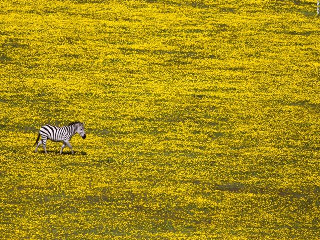 Một con ngựa vằn cô đơn giữa cánh đồng phủ đầy hoa vàng là khoảnh khắc mà nhiếp ảnh gia Yuval Ofek chớp được khi đang tham quan Vườn quốc gia Serengeti, Tanzania.