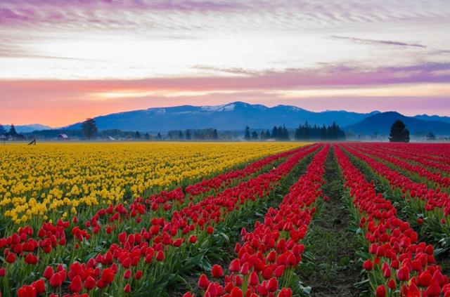 Cánh đồng hoa Tulip ở thung lũng Skagit (Mỹ): Mỗi năm vào tháng Tư, hàng ngàn du khách đến đây để thưởng thức lễ hội hoa Tulip. Đây là nơi mà bạn có thể nhận được hương vị thật sự của mùa xuân.
